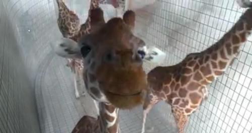 !!Giraffes1