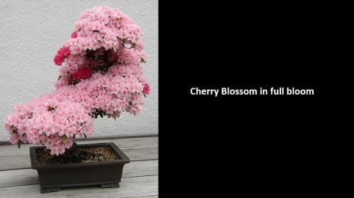 !!!!!CherryBlossoms1