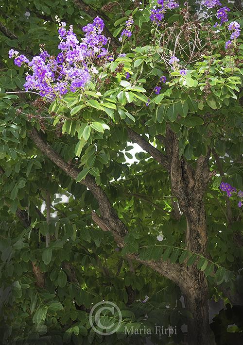 Lagerstroemia speciosa (Queen's crepe-myrtle)