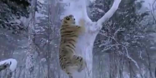 !!!!!SiberianTigerFilm1
