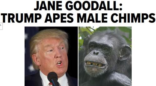 bn2016-09-18jane-goodall-trump-apes-male-chimps1